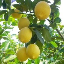 Citronu ēteriskā eļļa