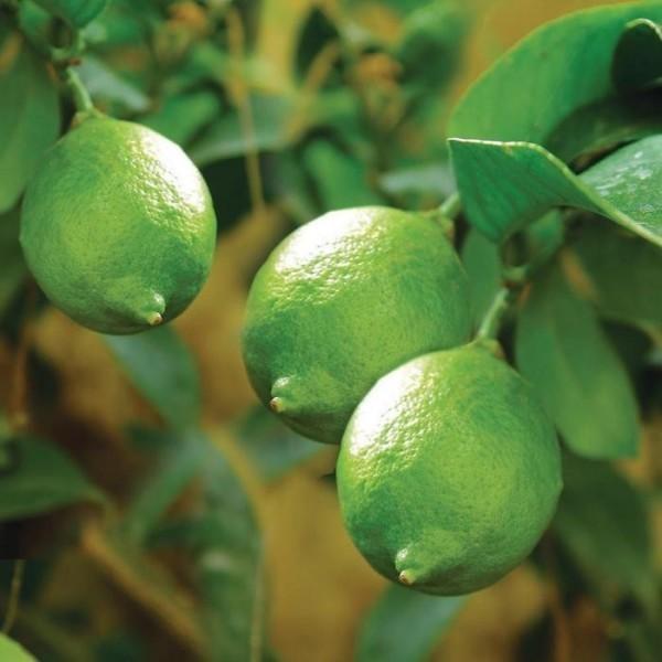 Zaļo citron (laima) ēteriskā eļļa
